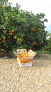 comprar-naranjas-online-ribera-del-jucar-navelina-caja