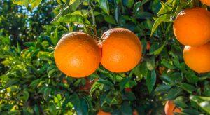 naranjas-navel-powel-04-2017